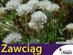 Zawciąg nadmorski, biały (Armeria martima) 0,05g nasiona