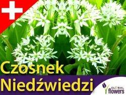 Czosnek Niedźwiedzi SAMO ZDROWIE (Allium ursinum) Sadzonka