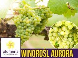 Winorośl AURORA odmiana deserowa (Vitis) Sadzonka C2