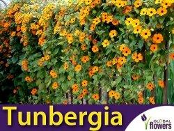 Tunbergia, mieszanka (Thumbergia alata) nasiona 0,5g