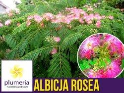 Albicja - Jedwabne Drzewko (Albicja Rosea) Sadzonka C2