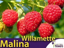 Malina czerwona WILLAMETTE (Rubus idaeus) doniczkowana Sadzonka C1