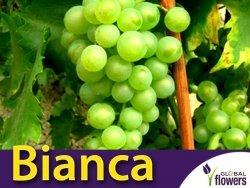 Winorośl Bianca Sadzonka - odmiana deserowa-przerobowa Vitis 'Bianca'