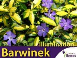Barwinek pospolity 'Illumination' (Vinca minor) Sadzonka