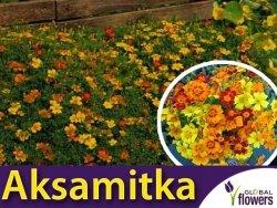 Aksamitka wąskolistna Starfire, mieszanka (T. tenuifolia) 0,5g