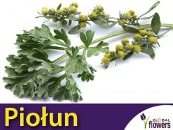 Piołun Bylica (Artemisia absinthium) Sadzonka P9