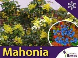 Mahonia pospolita, zimozielona (Mahonia aquifolium) sadzonka