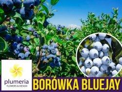 Borówka Amerykańska BLUEJAY Sadzonka 3 letnia 40-60cm