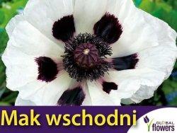 Mak wschodni biały ROYAL WEDDING (Papaver orientale) 0,2g nasiona LUX