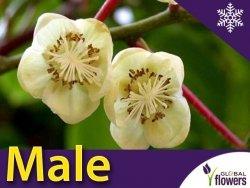 Mini Kiwi MALE ♂ (Aktinidia ostrolistna) Sadzonka C1