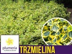Trzmielina Fortunea EMERALD GOLD (Euonymus fortunei) Sadzonka P9