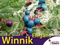 Winnik zmienny - Porcelanowe pnącze 'Elegant' (Ampelopsis brevipedunculata) Sadzonka