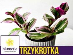 Trzykrotka NANOUK (Tradescantia albiflora) Roślina domowa. Sadzonka P6 - S
