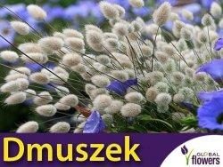 Dmuszek jajowaty (Lagurus ovatus) nasiona 0,2 g