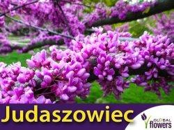 Judaszowiec Kanadyjski (Cercis canadensis) 4 letnia Sadzonka XL-C5