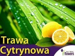 Trawa Cytrynowa (Cymbopogon citracus) 2in1 Ozdoba i Przyprawa Sadzonka