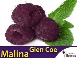 Malina właściwa bezkolcowa (Rubus idaeus) 'Glen Coe' doniczkowana Sadzonka
