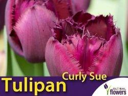Tulipan strzępiasty 'Curly Sue' (Tulipa) CEBULKI 4 szt.