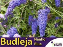 Budleja dawida NAHNO BLUE (Buddleja davidii) Sadzonka C1