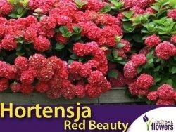 Hortensja ogrodowa 'Red Beauty' czerwona (Hydrangea macrophylla) Sadzonka