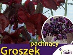 Groszek pachnący, Beaujolais - bordowy (Lathyrus odoratus) 5 g  nasiona LUX