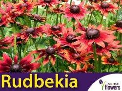 Rudbekia dwubarwna Cherry Brandy, czerwona (Rudbeckia hirta) 1g LUX