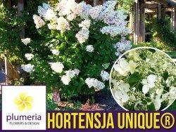 Hortensja Bukietowa UNIQUE ® (Hydrangea paniculata) Sadzonka C1