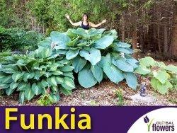 Funkia EMPRESS WU® (Hosta) Sadzonka C5 NAJWIĘKSZA NA ŚWIECIE