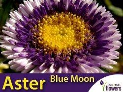Aster Chiński Liliput Moonshine 'Blue Moon' (Callistephus chinensis) 0,3g