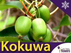 Mini Kiwi KOKUWA ⚥ (Aktinidia Ostrolistna) Sadzonka C2 60-80cm