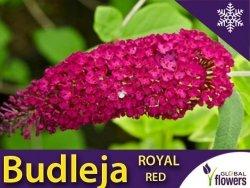 Budleja davidii ROYAL RED (Budleja davidii) Sadzonka C2