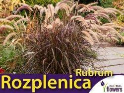 Rozplenica RUBRUM (Pennisetum advena) Sadzonka C3