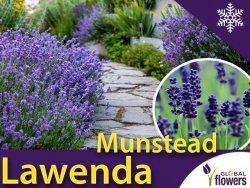 Lawenda wąskolistna MUNSTEAD (Lavandula angustifolia) 0,2g nasiona
