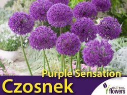 Czosnek Purple Sensation (Allium Purple sensation) CEBULKI 3 szt.