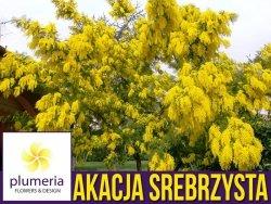 Akacja srebrzysta (Acacia dealbata) nasiona 20szt