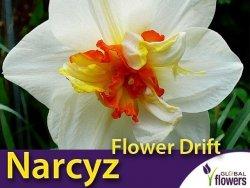 Narcyz pełny 'Flower Drift' (Narcissus) CEBULKI 4 szt.