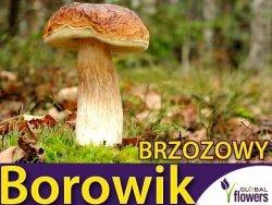 Grzybnia Borowik Brzozowy Boletus betulicola ziarno 10g