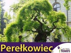 Perełkowiec japoński Sadzonka (Sophora japonica)
