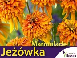 Jeżówka 'Marmalade' (Echinacea) Sadzonka