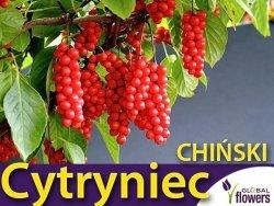 Cytryniec Chiński WU WEI ZI (Schisandra chinensis) Sadzonka C2
