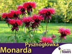 Pysznogłówka dwoista/szkarłatna (Monarda didyma) Panorama CEBULKA
