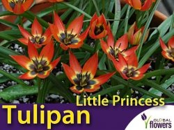 Tulipan botaniczny 'Little Princess' (Tulipa) CEBULKI 5 szt