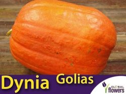 Dynia olbrzymia Golias  (Cucurbita pepo) 3g, nasiona LUX