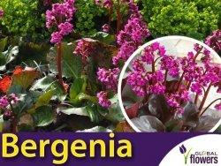 Bergenia sercowata 'Eroica' (ergenia cordifolia) Sadzonka