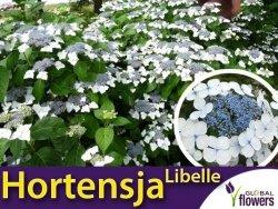 Hortensja ogrodowa LIBELLE (Hydrangea macrophylla) Sadzonka C1