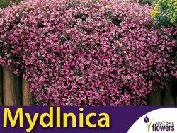 Mydlnica bazyliowata różowa (Saponaria ocymoide) 0,5g