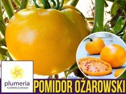 Pomidor ZŁOTY OŻAROWSKI (Lycopersicon Esculentum) nasiona 0,5g