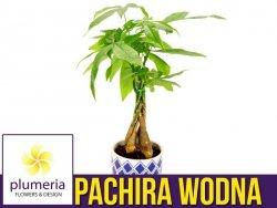 Pachira wodna (Pachira aquatica) Roślina domowa. Sadzonka P14 - L