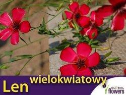 Len wielokwiatowy, czerwony (Linum grandiflorum) 1g, nasiona