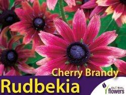 Rudbekia dwubarwna 'Cherry Brandy' (Rudbeckia hirta) Kłącza